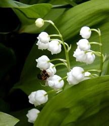 Inci çiçeği Nedir Faydaları Nelerdir Bitki Ansiklopedisi