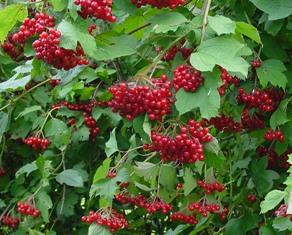 viburnum-opulus-(berries).jpg