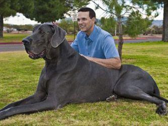 Dünyanın en uzun köpeği galerisi resim 2