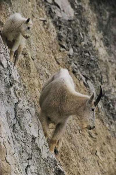Adı üstünde keçi! galerisi resim 6