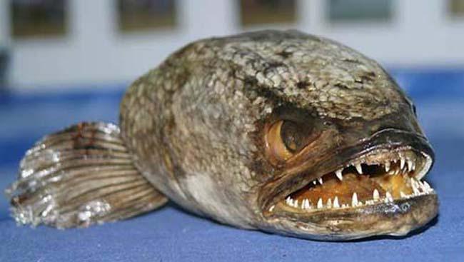 Canavar balık FISHZILLA galerisi resim 2