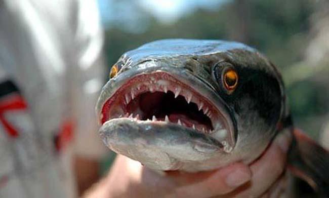 Canavar balık FISHZILLA galerisi resim 3