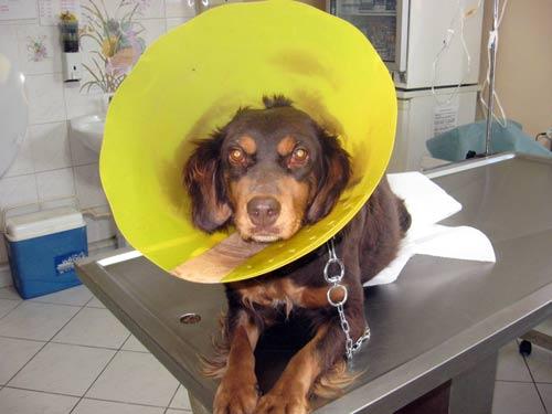 Kanserli köpek kemoterapi ile iyileşti galerisi resim 1