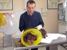 Kanserli köpek kemoterapi ile iyileşti