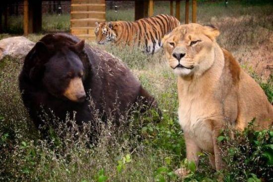 Aslan, bengal kaplanı ve ayı biraraya gelirse!..