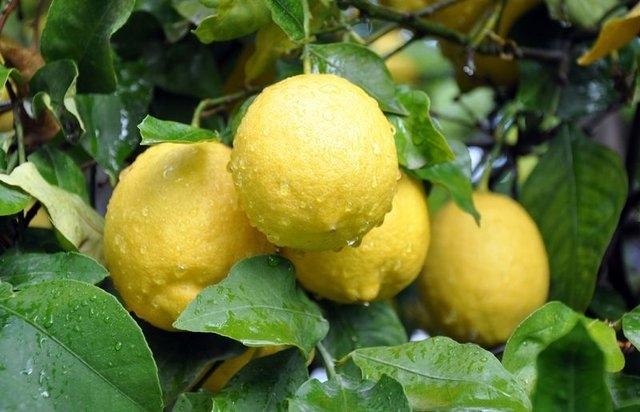 Limon dilimleriyle uyumanın faydaları galerisi resim 1