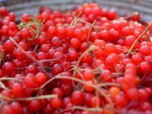 Gilaburu meyvesi kanserden koruyor