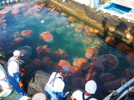 200 Kiloluk denizanası dehşeti... galerisi resim 2