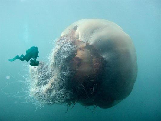 200 Kiloluk denizanası dehşeti... galerisi resim 7