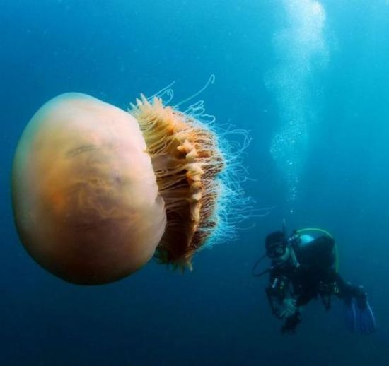200 Kiloluk denizanası dehşeti... galerisi resim 8