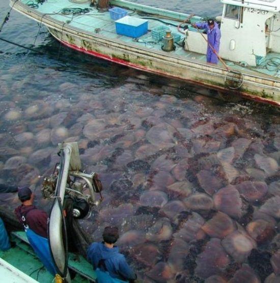200 Kiloluk denizanası dehşeti...