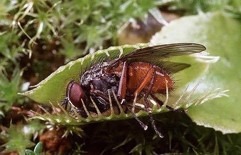 Böcek yiyen bitkiler galerisi resim 1