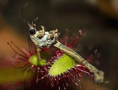 Böcek yiyen bitkiler galerisi resim 12