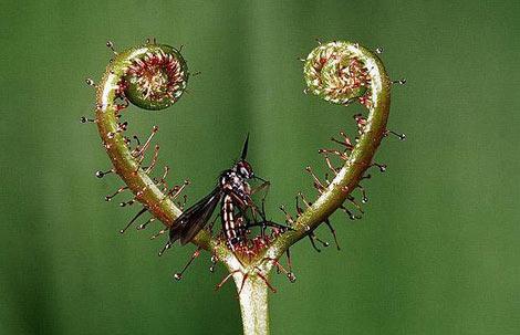 Böcek yiyen bitkiler galerisi resim 24