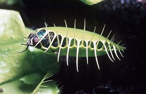 Böcek yiyen bitkiler galerisi resim 31