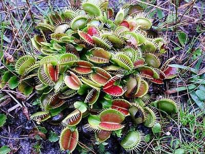 Böcek yiyen bitkiler galerisi resim 32