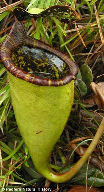 Böcek yiyen bitkiler galerisi resim 8