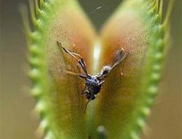 Böcek yiyen bitkiler