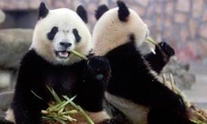 'Süper antibiyotik' panda kanında saklı
