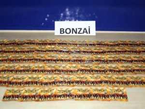 2014'ün ilk altı ayında 84 kilogram ''bonzai'' ele geçirildi