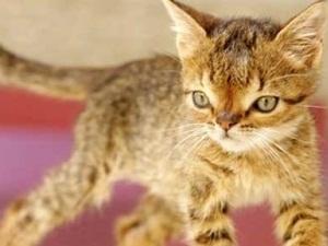 Türkiye'nin ilk Down Sendromlu kedisi Otto hayatını kaybetti