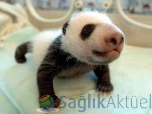 Çin'de üçüz panda sevinci