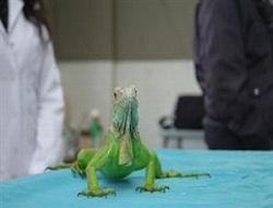 Parazitli iguana sahibini hasta etti