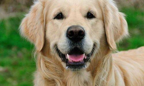 İnsandan köpeğe kök hücre