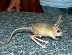 Tavşan Hastalığı Salgını
