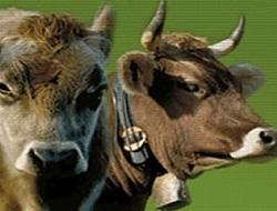 İnsan geni eklenen inek sütleri yolda!