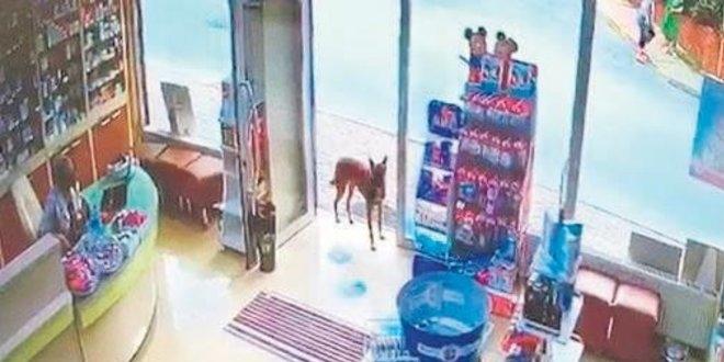 Yaralı köpek eczaneye girip yardım istedi