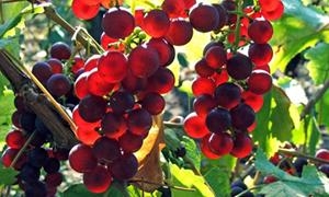 Kanser savaşçıları: Kırmızı üzüm ve fındık