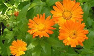 Aynısefa çiçeği vücudu temizler