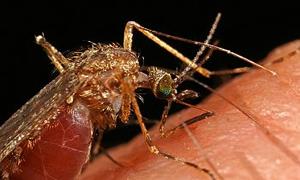 Hastalığa karşı genetiği değiştirilmiş sivrisinek