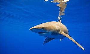 Kanser düşmanı 'Köpekbalığı'