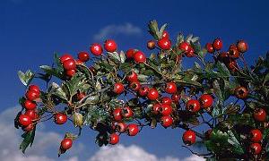 İşte kalbin en iyi ilacı olan meyve