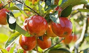 Öksürük ve balgama karşı elmalı tarif