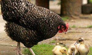 """""""Sağlıklı diye yediğiniz tavuklar tavuk değil"""""""