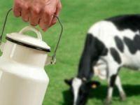 Hareketsiz ineğin sütü bile zararlı