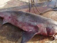 Köpek balığı, kanser hastalarına şifa olacak