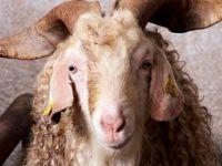 Türkiye'nin ilk keçi sperm bankası: Tekebank