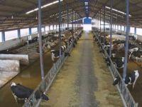 Doktorluğu bırakıp süt çiftliği kurdu
