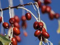Eylül'ün dört gözle beklenen meyvesi: İğde
