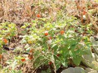 Eczacılık öğrencileri kendi tıbbi bitkilerini yetiştiriyor