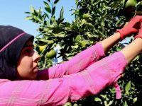 Hemşire olmak isteyen 19 yaşındaki kız mandalina tarlasında çalışıyor