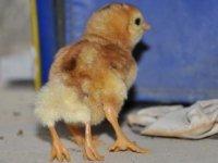 Yumurtadan 4 bacaklı civciv çıktı
