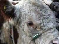 Tarım Bakanlığı boğa ve aygır spermi ithal edecek