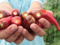 Aflatoksinden arındırılmış biber tohumu geliştirdi