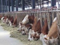 Bolu'da hayvan hastalıklarından temiz olduğunu ispatlayan süt üretim tesisine arilik sertifikası verildi