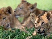 Bursa Hayvanat Bahçesi'nde dünyaya gözlerini açan aslanlar yeni yuvalarına alıştı